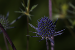 Sea Holly 2 by DorianStretton