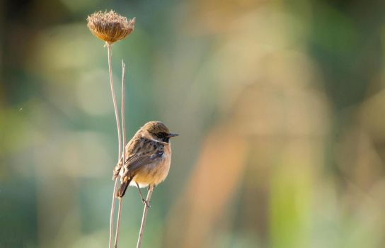 European Stonechat by rat-or-rat