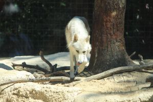 White Wolf 1 by Linay-stock