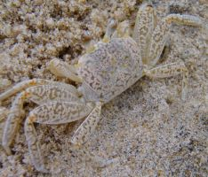 Ghost Crab by irrationalrationale