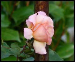 rusty rose by kram666