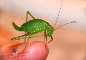 Cute Leptophyes punctatissima on my finger by TheFunnySpider