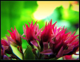 Sedum Buds - macro - for Teresa by surrealistic-gloom