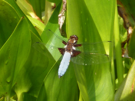 Pond insect by Aiseant