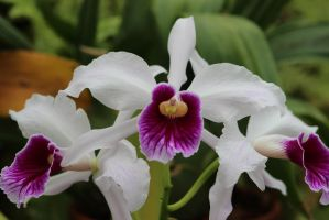 Orchidaceae I by Dellessanna