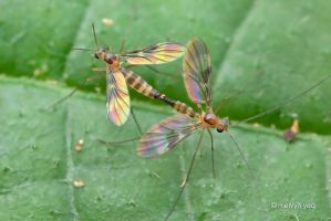 Mating Mycetophilidae by melvynyeo