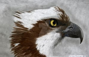 Osprey female by Worker-for-the-Wind
