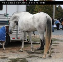 gray andalusian stallion 4 by venomxbaby
