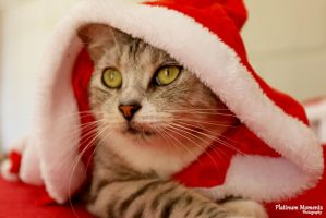Christmas cat by ness5378