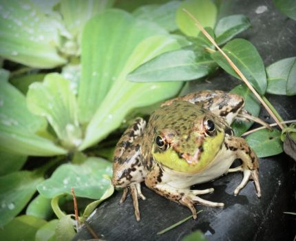 Frog.... by Turtledove21