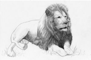 Lion by findmattlee