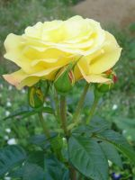 rose in yellow by rimis
