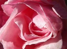 Dew on a pink rose by Angeliqueperrin