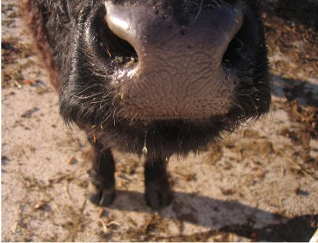 Cow Nose by babylonian007