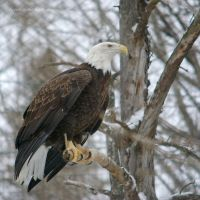 Bald Eagle by ticoun