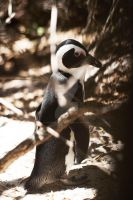 African Penguin by Jessicahphotography