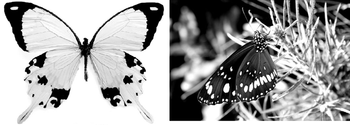 Black/White Butterfly by popepi11