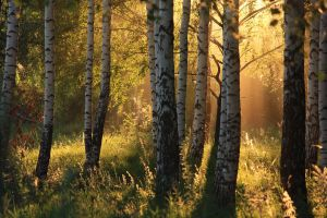 Sunset in the birch forest by HUNTERartworks