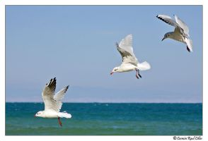 Seagulls by calincosmin