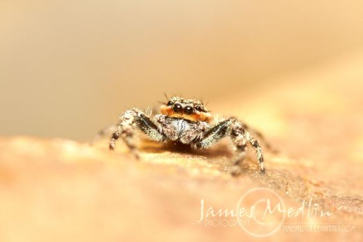 Jumping Spider 66 by JamesMedlin