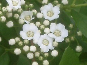 baby's breath by BlueIvyViolet