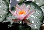 Seerose / Water Lily 2 by bluesgrass