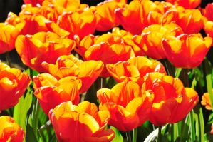 Glowing tulips by LarryRaisch