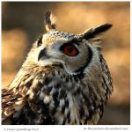 Bengal Eagle Owl by In-the-picture