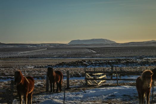 Icelandic horses in the sunset by capougirl