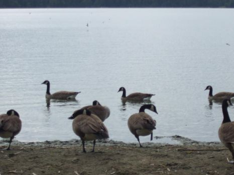 geese just relaxing by VicHigh101