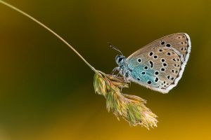 Large Blue by mescamesh