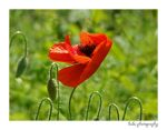 ... poppy... by bogdanici