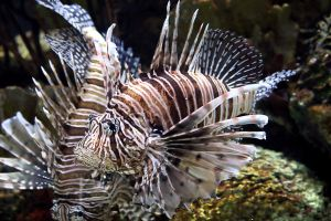 Lionfish by cindy1701d