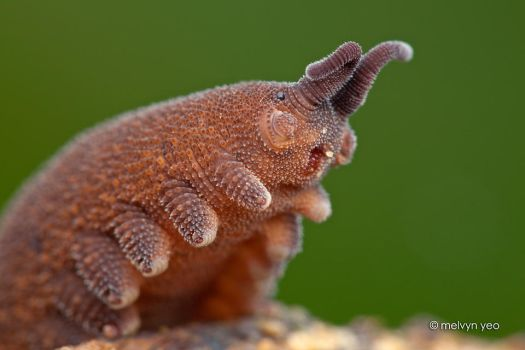 Velvet worm says..... Give me a hug! by melvynyeo
