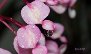 pink drop by Zlata-Petal