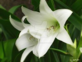 White Crinum Lilies 1 by ChristopherinMexico