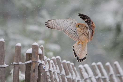 Flying under the snow by phalalcrocorax