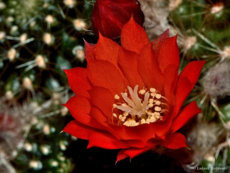 Red cactus flower by LukaszNature