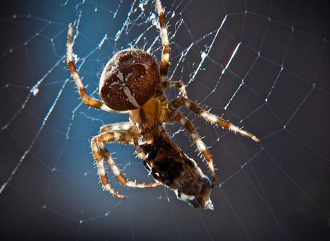 Garden Spider by RichOrridge