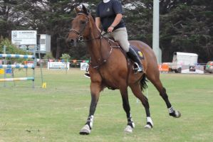 Bay Horse cantering under saddle Stock by Silverti