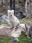 Arctic fox stock 4 by GrayeyesStock