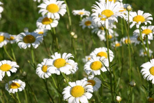 Daisys by SerSeanConnerie