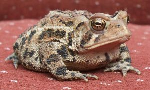 Toad 1 by Penny-Stock