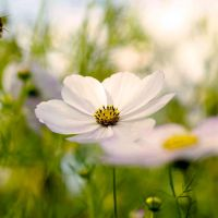 Every flower is a soul blossoming in nature by BlueColoursOfNature