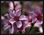 Fruit tree blossoms by eskimoblueboy