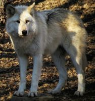 Gray Wolf Stock 9 by HOTNStock