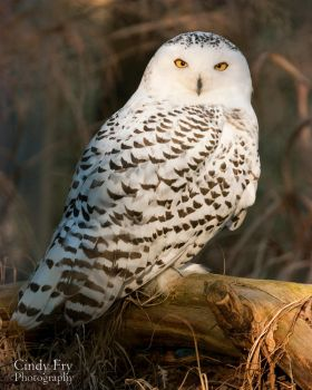 Snowy Owl by lost-nomad07