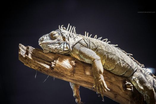 Chillaxing iguana by CatAttack2014
