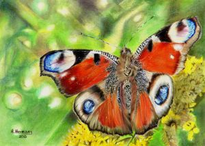 Peacock Butterfly  (Inachis io) by HendrikHermans