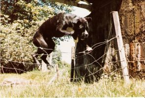 Ben jumping, boxer-dog by CarMadMike
